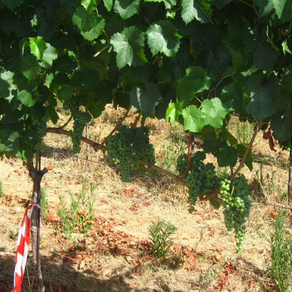Experimentation in the vineyard